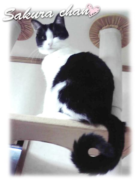 飼い猫のさくらちゃん hi150619w945-03