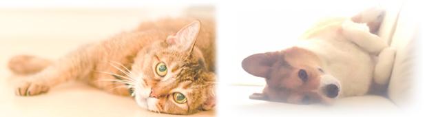 猫とコーギー2